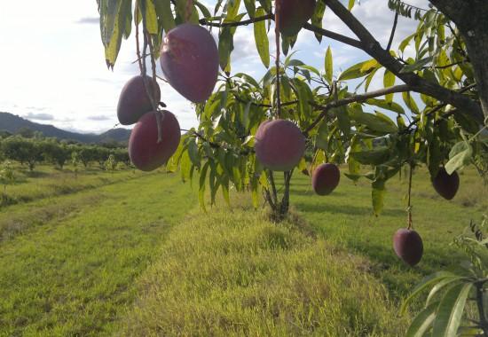 Hanging Mangos